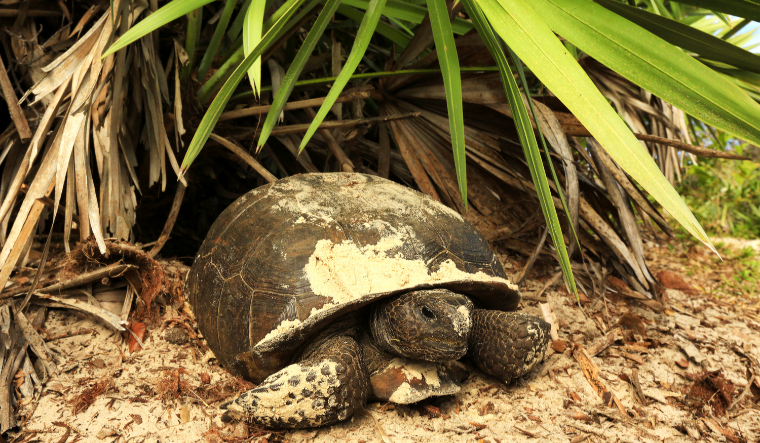"LAND JOURNAL-Blog-Awareness-""How to Deal With Gopher Tortoises on Your Property [VIDEO]""-2019-1"