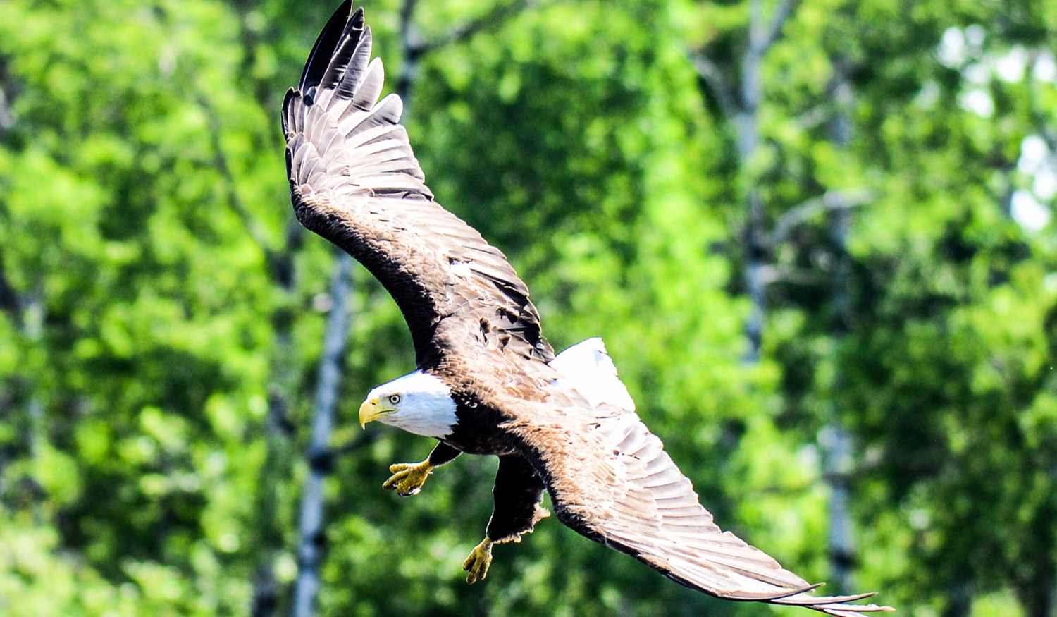 Photo of Bald Eagle in flight