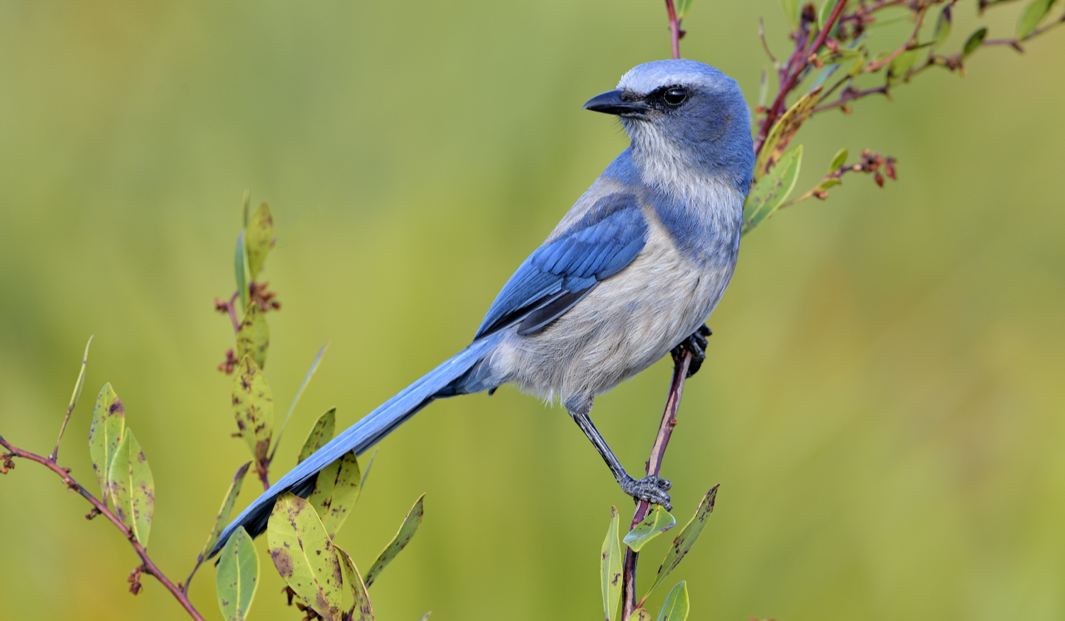 Photo of Scrub Jay on a branch