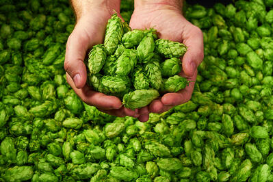 Photo of hands holding hops