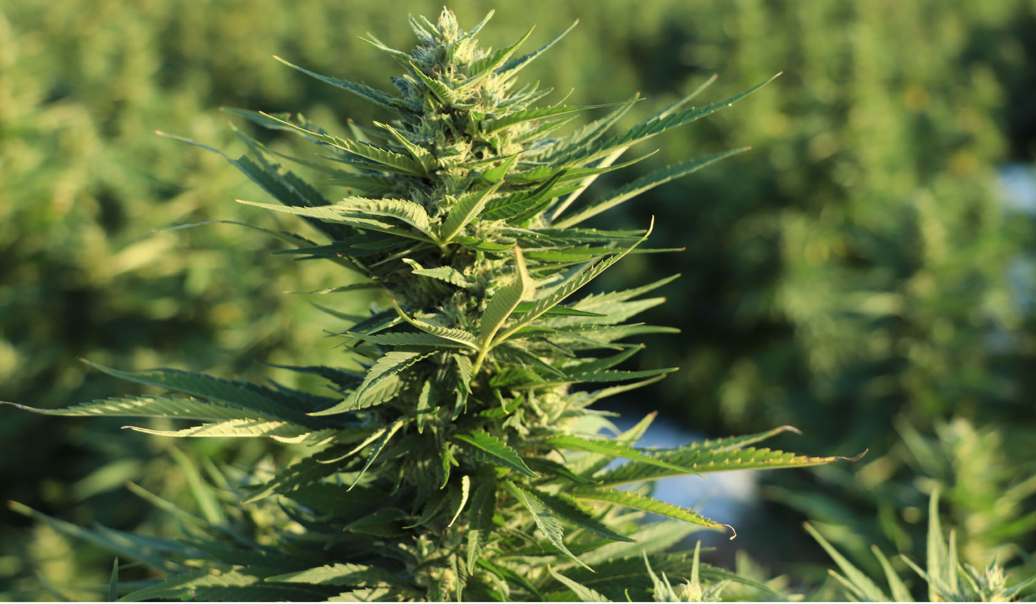 Photo of an industrial hemp plant ready to harvest for CBD oil production