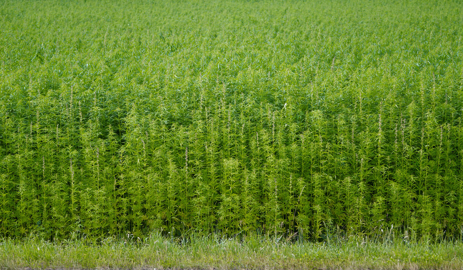 Photo of  a large industrial hemp field