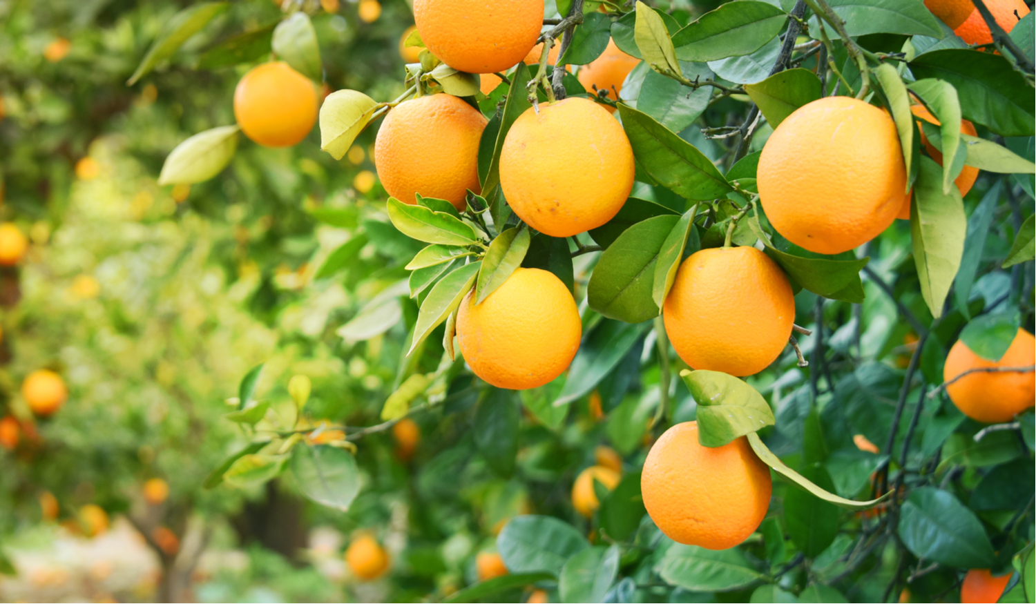 Photo of oranges growing in a Florida citrus grove