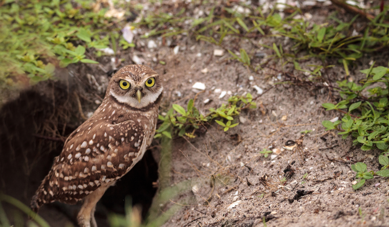 875-LAND JOURNAL-Blog-Awareness-How to Deal With Burrowing Owls on Your Property [VIDEO]-2019