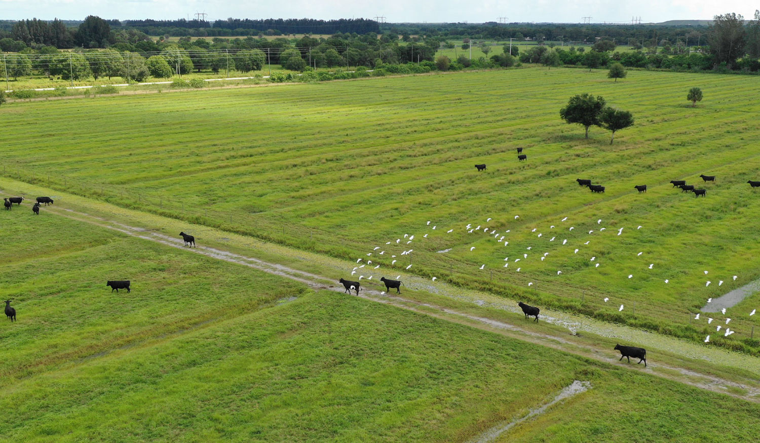 Photo of cows on opportunizy zone land in Florida