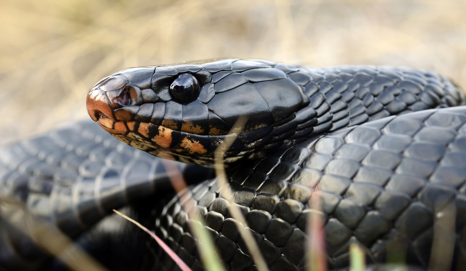 LAND JOURNAL-Blog-Awareness-How To Deal With Indigo Snakes On Your Property [VIDEO]-2019-875