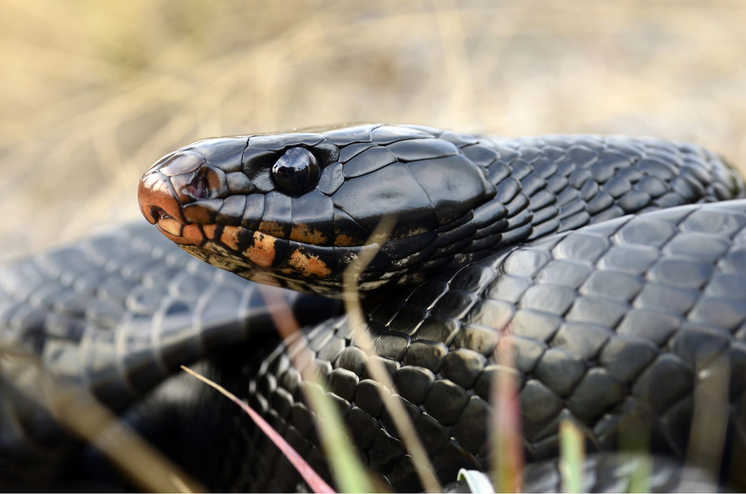 LAND JOURNAL-Blog-Awareness-How To Deal With Indigo Snakes On Your Property [VIDEO]-2019