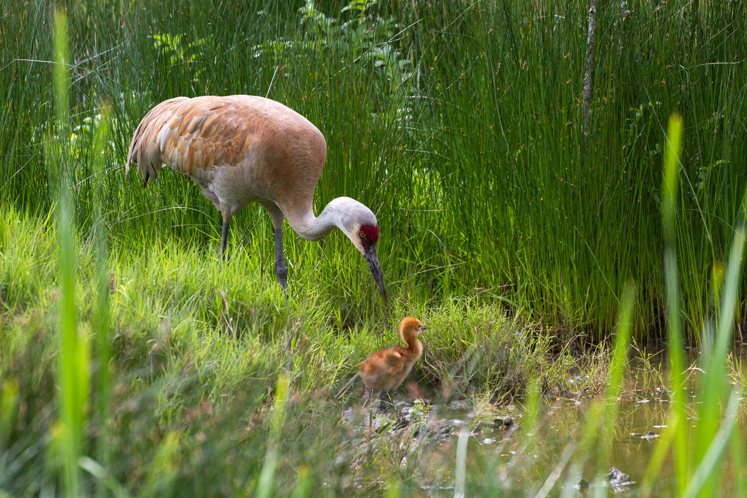 LAND-JOURNAL-Blog-Awareness-How-to-Deal-With-Sandhill-Cranes-on-Your-Property-[VIDEO]-2019